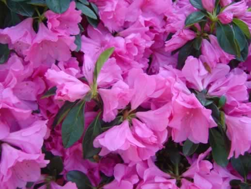 Azaleas blooming in Texas in the spring