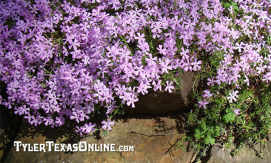 Purple Creeping Phlox seen on the Tyler Azalea Trail
