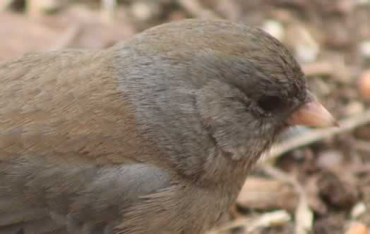 Junco ... head view ... in East Texas in winter