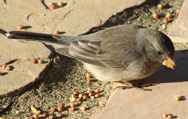 Junco chowing down on corn, in East Texas in winter