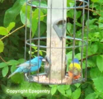 Indigo Bunting and Painted Bunting, East Texas