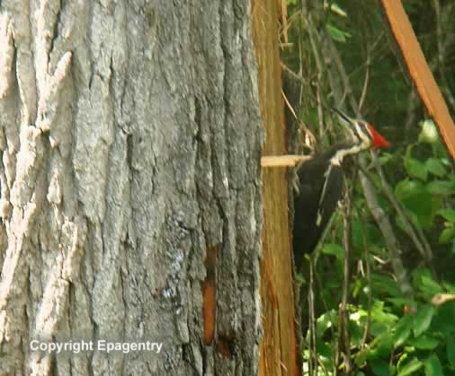 Pileated Woodpecker inspecting tree hit by lightning in April, 2012, Tyler, Texas
