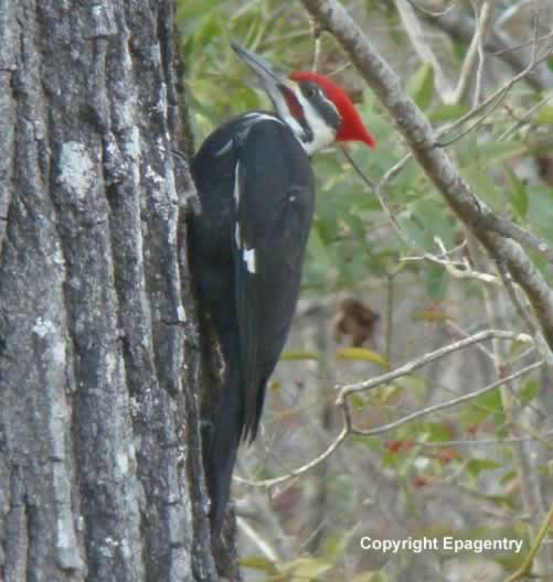 Pileated Woodpecker in East Texas