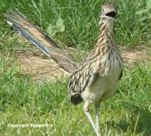photo of Texas Roadrunner up close and personal