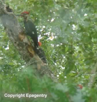 Three Pileated Woodpeckers in East Texas