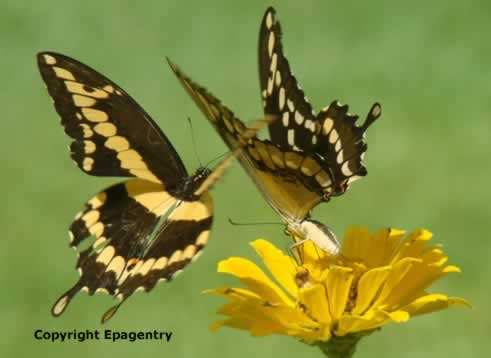 Giant Swallowtail Butterflies on Zinnias in Texas