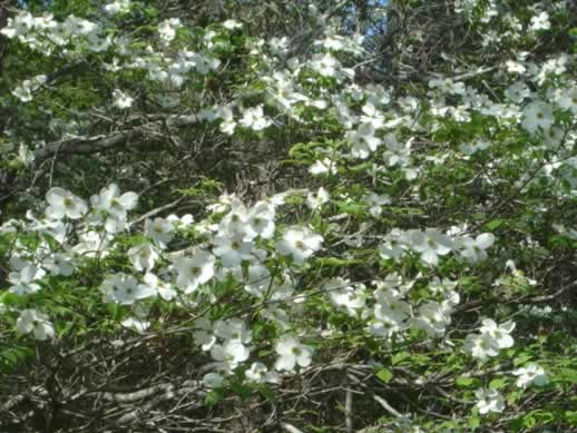 Dogwoods in Spring in Texas