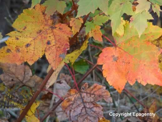 Colorful Maple Leaves in the Fall in Tyler Texas