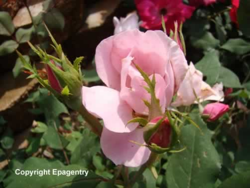 Pink Knockout Roses blooming in Tyler, Texas