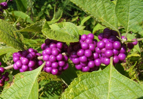 Beauty Berry - A fall native in East Texas