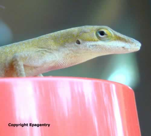 Green Anole Lizard on hummingbird feeder in Texas