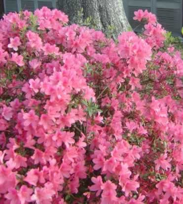 Pink azaleas in full bloom in Tyler Texas