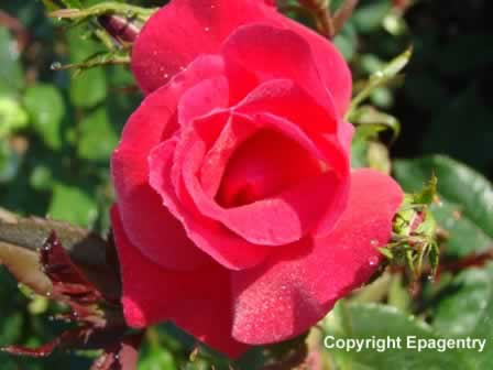 Red rose in the Rose Garden, Tyler
