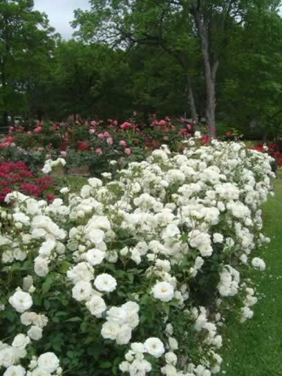 Rose selections in the Rose Garden, Tyler Texas